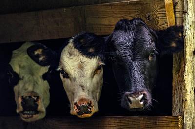 Barn Cows Art Print