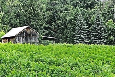 Photograph - Barn In A Field Of Grapes by Dawn Gari