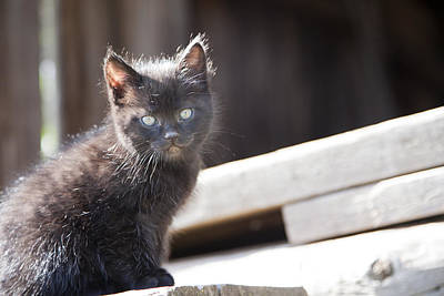 Photograph - Barn Kitten by Crystal Cox
