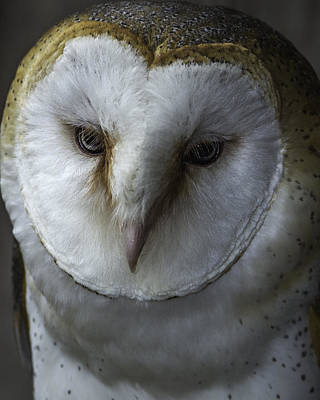 Photograph - Barn Owl 2014-001 by Donald Brown