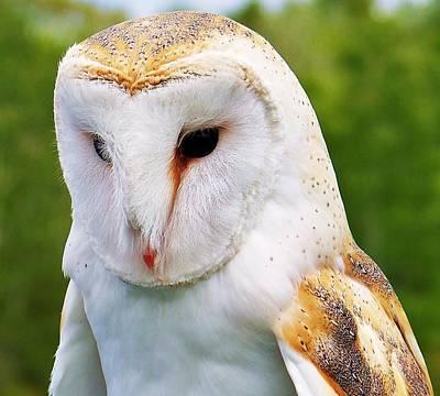 Barn Owl... Art Print