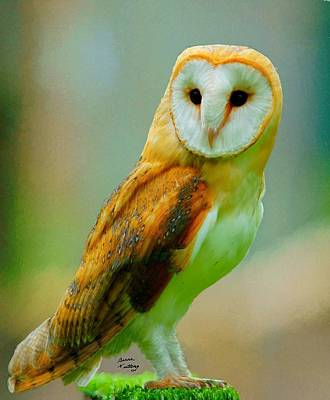 Ethereal - Barn Owl by Bruce Nutting
