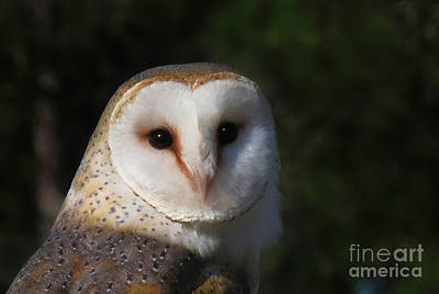 Photograph - Barn Owl by Deborah Smith
