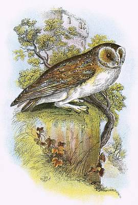 Barn Owl Photograph - Barn Owl by English School