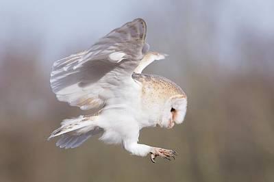 Barn Owl Photograph - Barn Owl In Flight Before Landing by Linda Wright