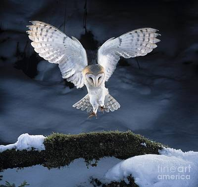 Birds In Snow Wall Art - Photograph - Barn Owl Landing by Manfred Danegger