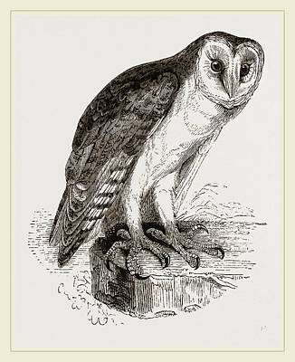 Barn Owl Drawing - Barn-owl by Litz Collection