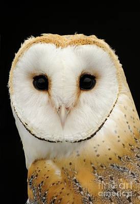Disc Photograph - Barn Owl by Malcolm Schuyl FLPA