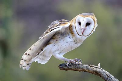 Photograph - Barn Owl by Mark Newman