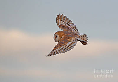 Photograph - Barn Owl by Neil Bowman FLPA