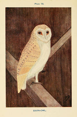 Barn Owl Drawing - Barn Owl by Philip Ralley