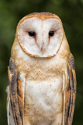 Watercolor Typographic Countries - Barn Owl Portrait by Dale Kincaid