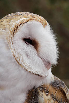 Photograph - Barn Owl Profile by Theo