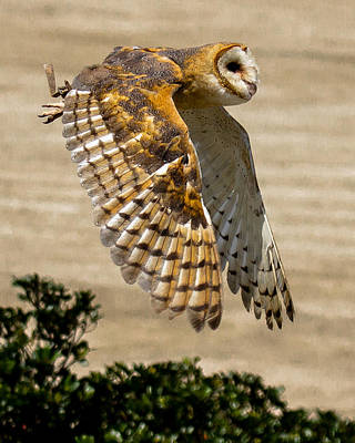 Photograph - Barn Owl by Robert L Jackson