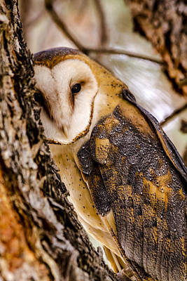 Photograph - Barn Owl by Teri Virbickis