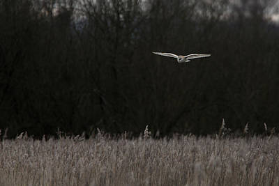 Photograph - Barn Owl The Silent Hunter by Tony Mills
