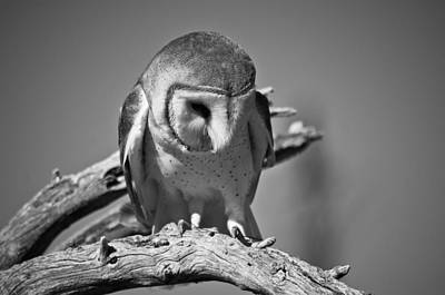 Barn Owl Thoughts  Art Print by Swift Family