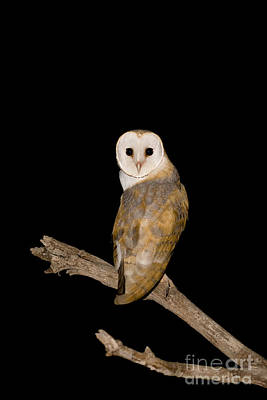 Birds Of Israel Photograph - Barn Owl Tyto Alba by Eyal Bartov