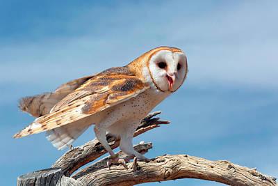 Barn Owl Photograph - Barn Owl (tyto Alba by Susan Degginger