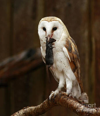 Barn Owl With Catch Of The Day Art Print by Inspired Nature Photography Fine Art Photography