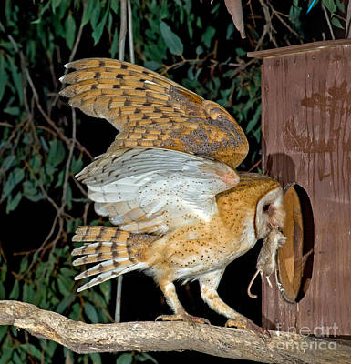 Barn Owl With Prey Art Print by Anthony Mercieca
