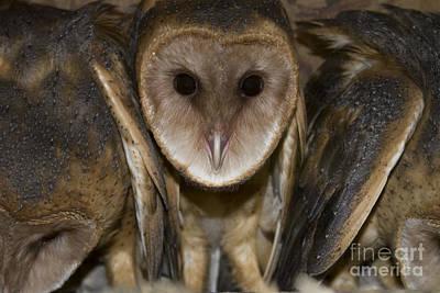 Photograph - Barn Owls by Reva Dow