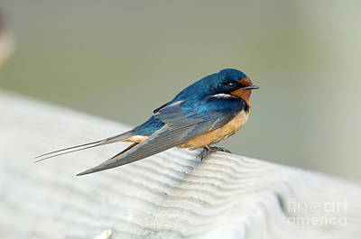 Barn Swallow Print by Anthony Mercieca