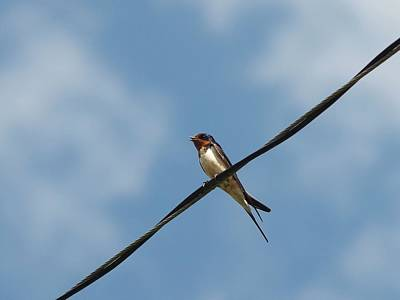 Photograph - Barn Swallow by Billy  Griffis Jr