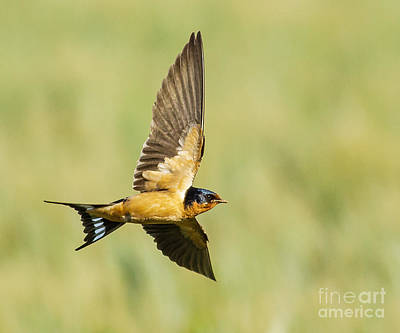 Barn Swallow Art Print by Carl Jackson
