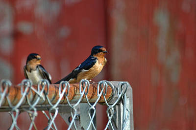 Photograph - Barn Swallow by David Armstrong