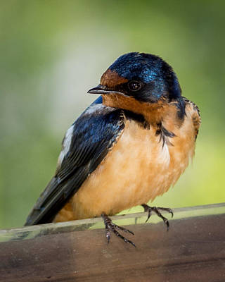 Swallow Photograph - Barn Swallow by Ernie Echols