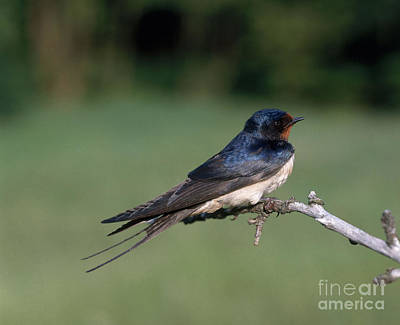 Barn Swallow Art Print by Hans Reinhard