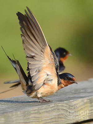 Photograph - Barn Swallow by Kathy Baccari