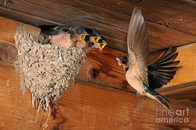 Three Chicks Photograph - Barn Swallow Nest by Scott Linstead