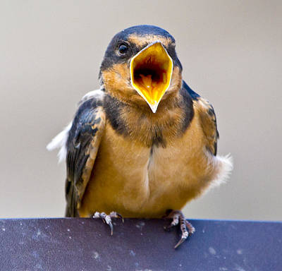 Photograph - Barn Swallow by Ricky L Jones
