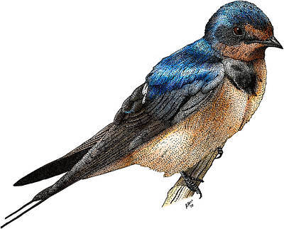 Barn Swallow Art Print by Roger Hall