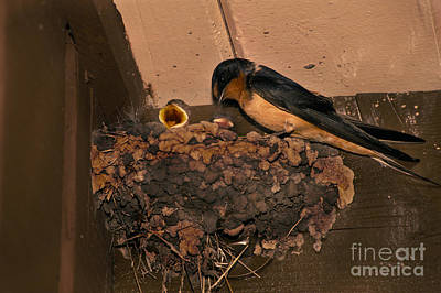 Barn Swallow Print by Ron Sanford