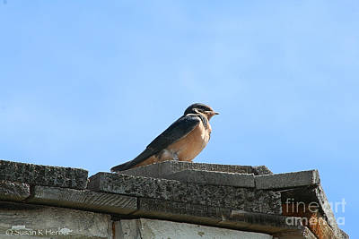 Photograph - Barn Swallow by Susan Herber