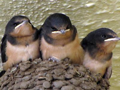 Photograph - Barn Swallows 1 by Tikvah's Hope