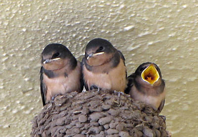 Barn Swallows 2 Art Print