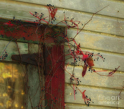 Photograph - Barn Vine by Nicki McManus