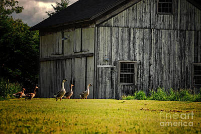 New England Photograph - Barn With Canadian Geese Connecticut by Sabine Jacobs