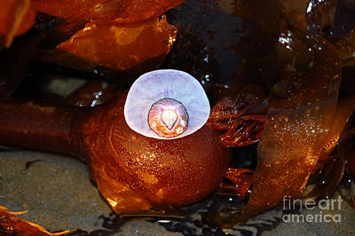 Photograph - Barnacle Attached To Sand Dollar by Debra Thompson