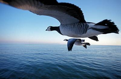 Barnacles Wall Art - Photograph - Barnacle Geese Flying by Patrick Landmann/science Photo Library