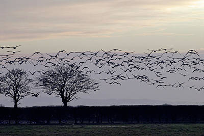 Barnacles Wall Art - Photograph - Barnacle Geese In Flight by Simon Fraser/science Photo Library