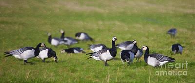 Geese Digital Art - Barnacle Geese by Liz Leyden
