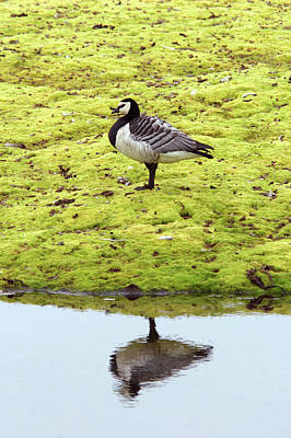 Barnacles Wall Art - Photograph - Barnacle Goose by John Devries/science Photo Library