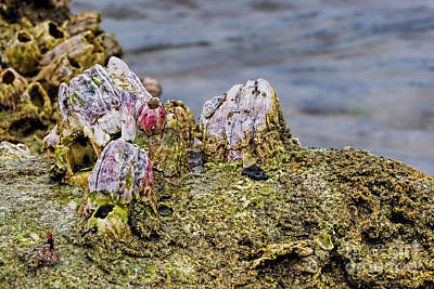 Photograph - Barnacles by Olga Hamilton
