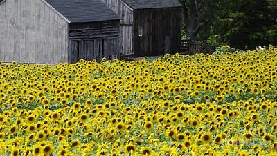 Photograph - Barns And Sunflowers by Michelle Welles