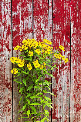 Photograph - Barnside Helenium by Alan L Graham